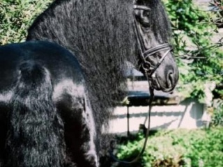 Purebred Friesian Filly