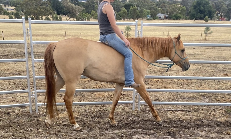 All Rounders - Australian Stock Horse in Victoria