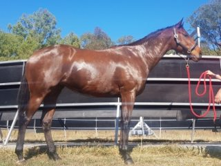 Ex Racehorses - Thoroughbred in Queensland