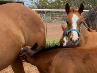 Beautiful paint bred filly