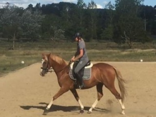 Dressage or Event - Stunning & Talented WB Filly