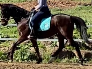Urgent sale gorgeous gelding 16hands