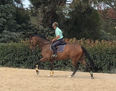 Talented youngster Showjumping/Eventing