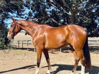 Massimo Quality Gelding out of World Cup mare