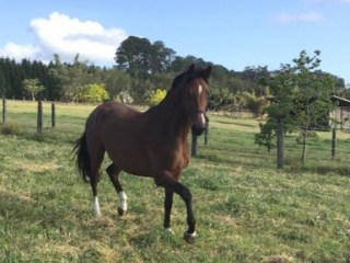 ! Belissimo /Olympic Ferro filly dressage star