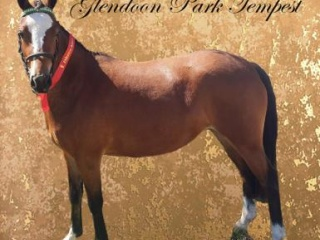 Future lead line Welsh X pony