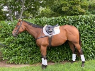 Quality Thoroughbred for sale