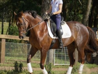 Stunning Dressage or Jumping mare