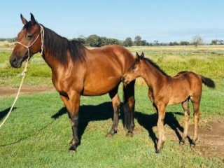 One Moore Playboy Mare with Conman Colt Foal