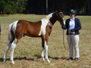 Pinto German Riding Pony x Warmblood Gelding