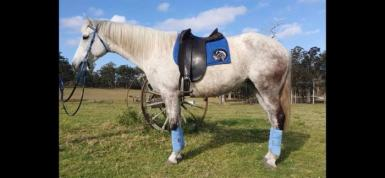 SOLD! Flashy first cross Andalusian mare