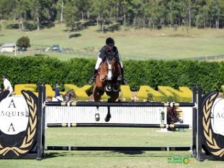 Beautiful Imported Jumping Gelding