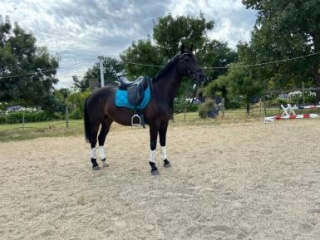 Big Moving Warmblood Dressage Mare 15hh, 5yo