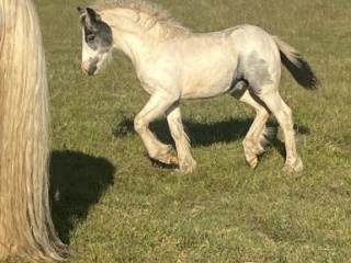 """Pure Bred Gypsy Cob """"DR Outlaw"""""""