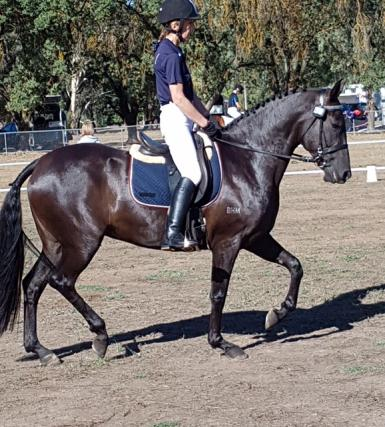 Stunning black Andalusian first cross mare
