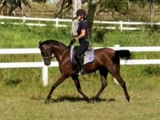 Beautiful Riding Pony Gelding