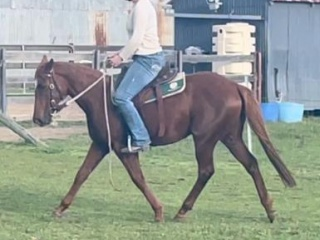 ASH show filly