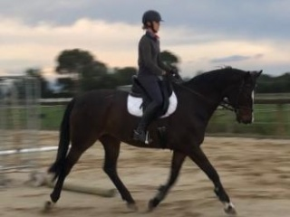 Stunning show or dressage prospect