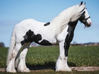 Gypsy Vanner Horse for Sale |Black/White