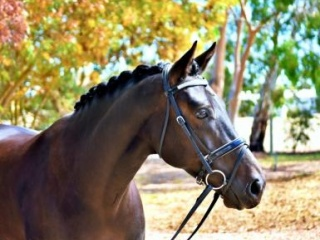 Simply Stunning Warmblood x Morgan Gelding