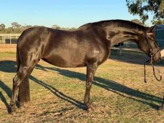 Sale temporarily on hold - Black Andalusian Mare