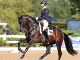 Brawny Gelding Bay Schoolmaster Dressage Warmblood