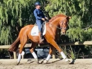 Attractive Chestnut Gelding