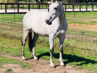 Dressage or Showjumping Valhalla Mare