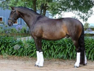Medium level warmblood gelding