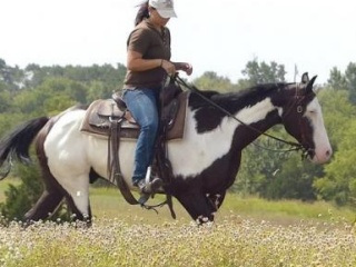 Magnificent American Paint Gelding for Everyone