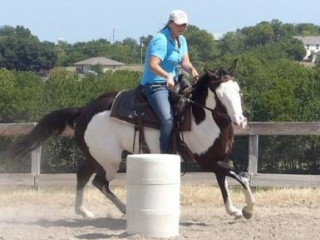 Pro American Paint Gelding READY TO GO