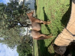 4 1/2 Year old Registered Quarter Horse Gelding