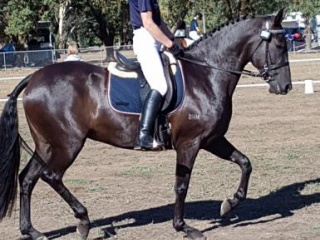 Stunning Black Andalusian Mare
