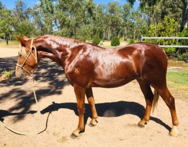 Part Bred Welsh filly