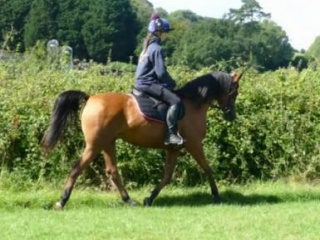 Gorgeous 7 Years old 14.3hh Arabian Mare