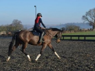 17.2hh 8 years Warmblood Mare