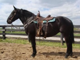 SUPER GENTLE BLACK QUARTER HORSE