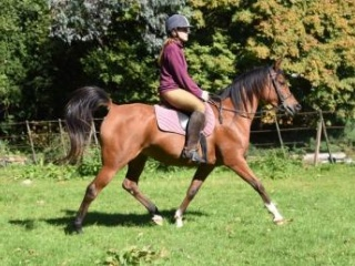 2014 Arabian Mare Standing at 14.3hh
