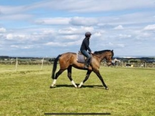 16.1 Irish Sports Horse rising 6yo Bay mare.