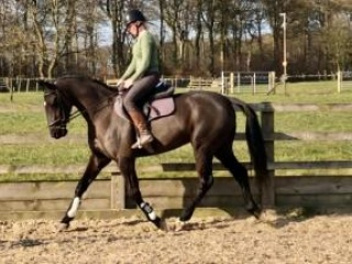 16hh 6yr old black Irish Sports Horse mare