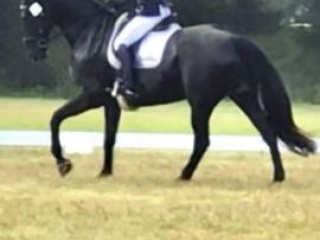 Big, black and handsome dressage gelding