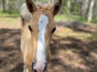 Palomino Mare and Foal