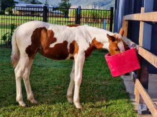 4mth Old Pinto Filly