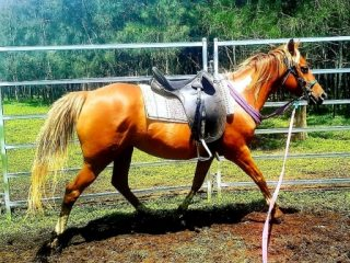 Eye catching Pinto QH x Mare