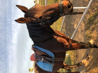 Standardbred in New South Wales