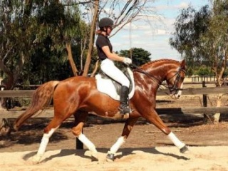 Young and successful ADV Level Gelding