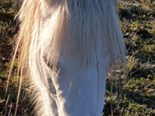 Welsh Pony in New South Wales