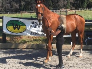 Talented young gelding by Versace