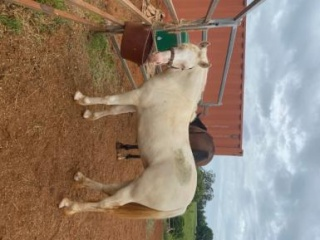 Palomino Double Dilute Welsh Cob of C type